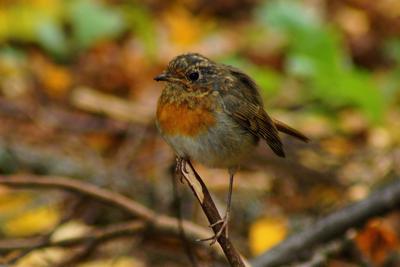 Молодая зарянка зарянка птицы