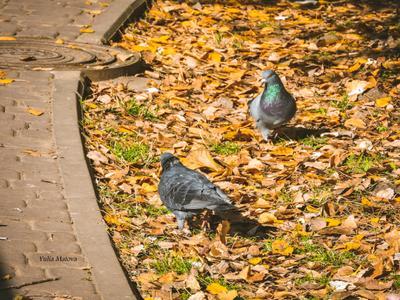 два красавца голуби красивая шея листья осень