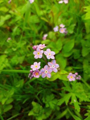 Розовые незабудки. макро незабудки цветы природа
