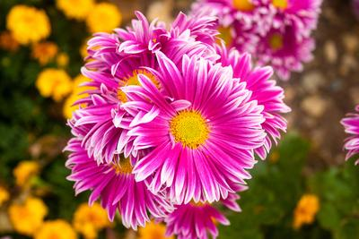 Beautiful bright colors flowers Beautiful bright colors beautiful flowers plants summer sun leaves leaf nature greenhouse gardening chrysanthemums tulips roses gladiolus pink red purple yellow warm romantic live love gift beauty garden flower bed close