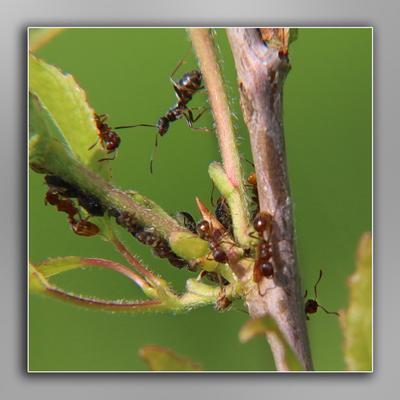 муравьи пасут стадо тли