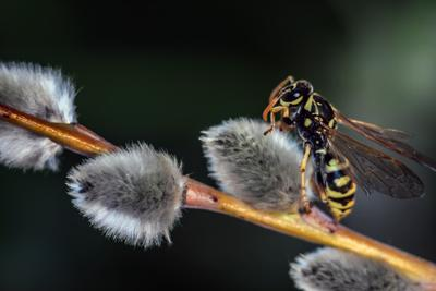 Весеннее пробуждение насекомых оса