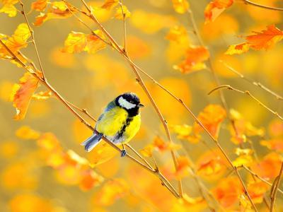 Осенний цвет пробил листву... природа птицы фотоохота синица осень