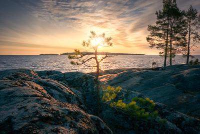 Сосны на скалах ладога скалы рассвет сосна деревья облака холод пейзаж природа