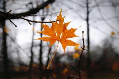 Последний.... Осень кленовый лист
