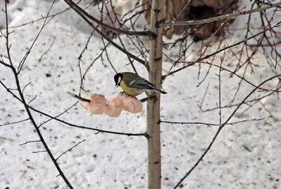 Сало и синица Сибирь зима снег птица