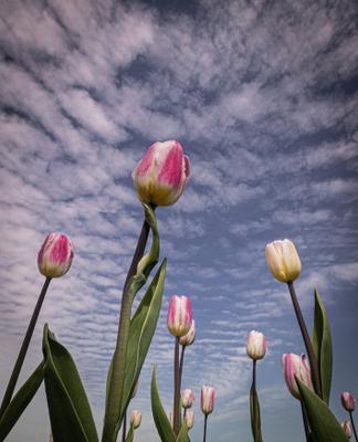 Тюльпаны в Москве