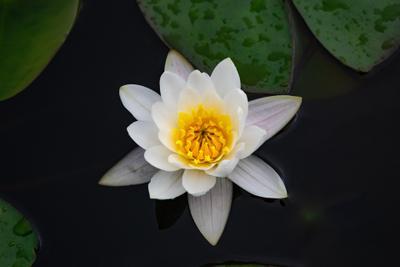 белая кувшинка цветы белая кувшинка