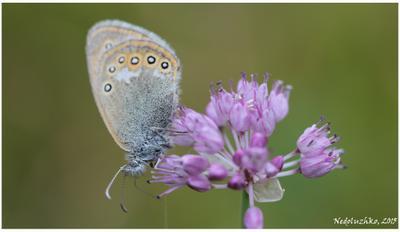 Голубянка Голубянка бабочка Алтай