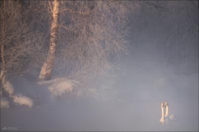 Встречая рассвет .. Алтай лебеди Алтайский край озеро Светлое