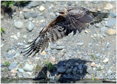 Стервятник на излете... Птицы природа