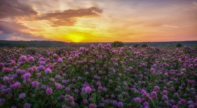 Клевер Рассвет клевер цветы поле пейзаж
