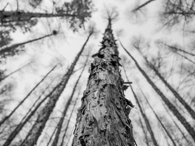 В лесу. Лес природа дерево деревья ч б