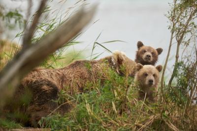 Любопытство Медведь Медвежонок Медвежата Медведица Камчатка Южнокамчатскийзаказник SAL300F28G