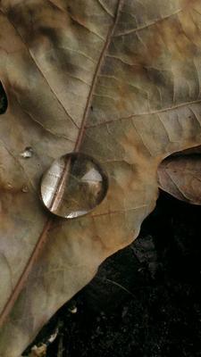 Капля на дубовом листе природа макро капля воды