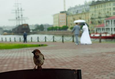 Питерский воробей на свадьбе воробей питер свадьба заячий остров