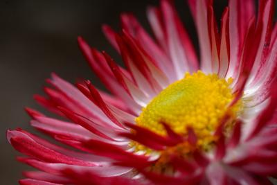 *** цветы макро