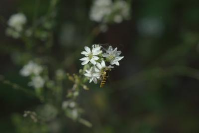 *** макро цветок муха