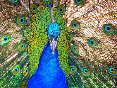 Павлин павлин птицы