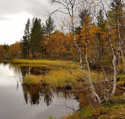 Морошковый цвет заполярья Кольский полуостров Лапландия осень