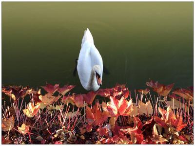 Осенний Дунай Вена дунай осень лебедь
