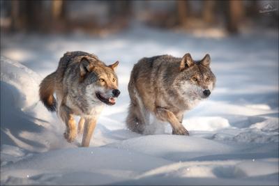 Хороший, плохой, ... волк wolf красная шапочка беларусь красный бор фототур в фотоохота canis lupus red riding hood серый обыкновенный евразийский европейский