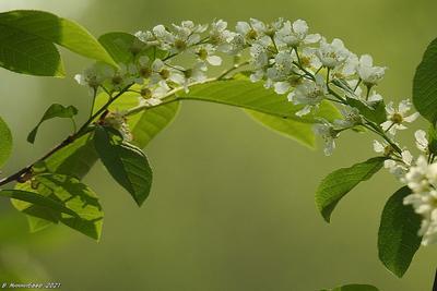 Весенняя зарисовка природа весна лес.растительный мир черёмуха цветы