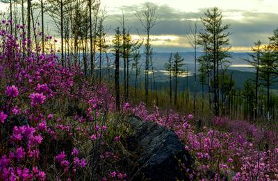 В лучах заката лес май сопка закат багульник Забайкалье
