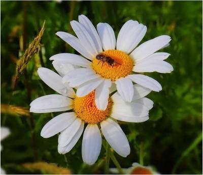 ***Ромашки природа цветы