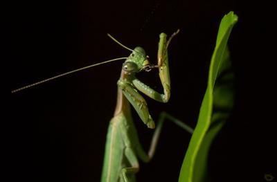 Гурман богомол насекомое хищник