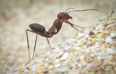 Пляжный муравей