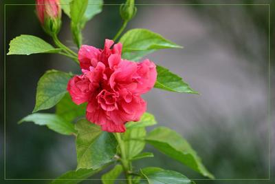 """*""""* Цветок, может быть даже и роза)) турция"""
