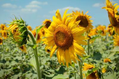 Подсолнухи Подсолнухи sunflowers nature flowers цветы лето
