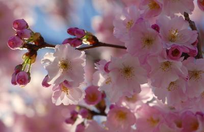 *** розовые цветы весна радость