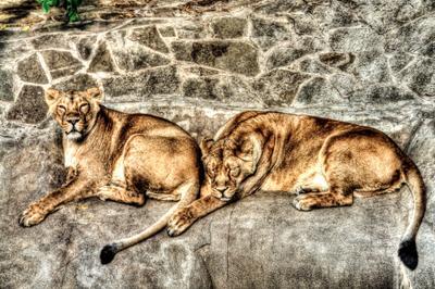 Большие кошки зоопарк львы кошки Москва лето