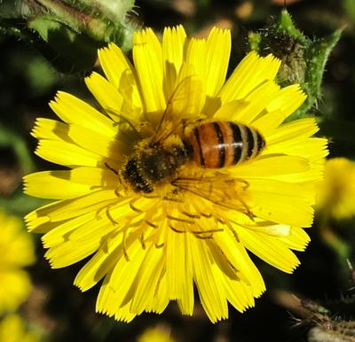 Жёлтый цветок. Пчела жёлтый цветок пчела растение насекомое yellow flower bee plant insect