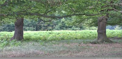 В глубине Ричмонд-парка июль Англия Кингстон-на-Темзе Ричмонд-парк