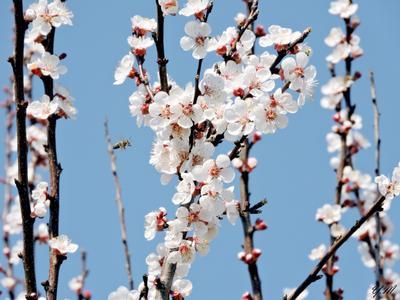 полёт пчёлки) пчела ветка цветение весна