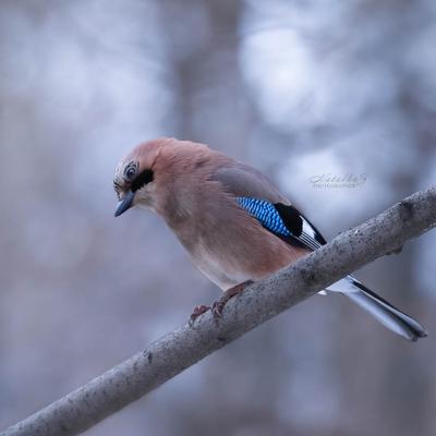 Любопытная сойка сойка клюв птица птицы пернатые весна
