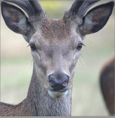 Портрет молодого оленя июль Англия Кингстон-на-Темзе Ричмонд-парк олень молодой красавец