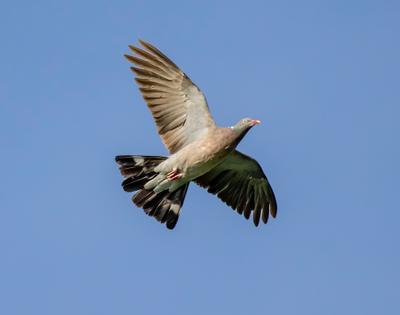 лесной голубь