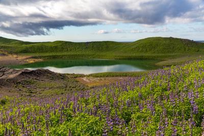 Люпины Iceland