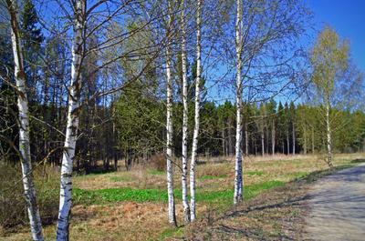 Опять весна душистая повеяла крылом... весенний пейзаж природа березки