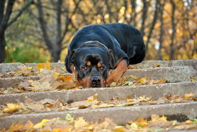 осенняя печаль собака ротвейлер осень