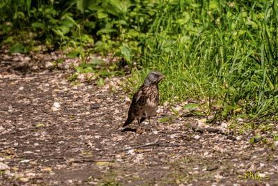 Дрозд-рябинник дрозд природа лето парк птица