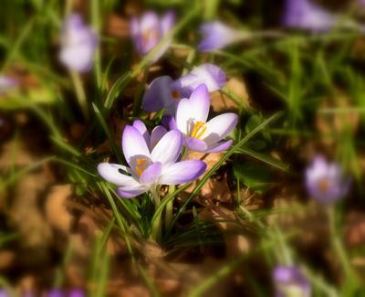 Весенние весна крокусы цветы сиреневое