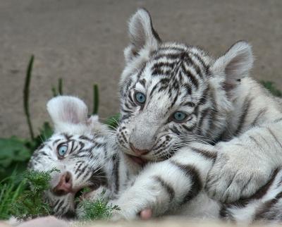 Большие кошки. Детство кошкофото большие кошки белый бенгальский тигр тигренок