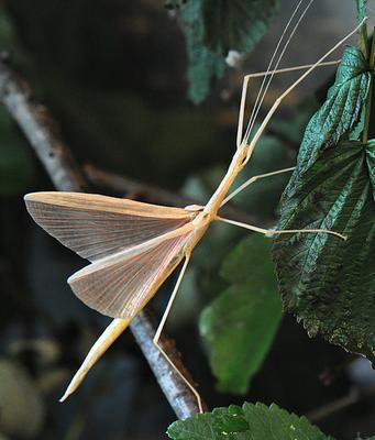 домашний питомец Sipyloidea sipylus, мускусный палочник