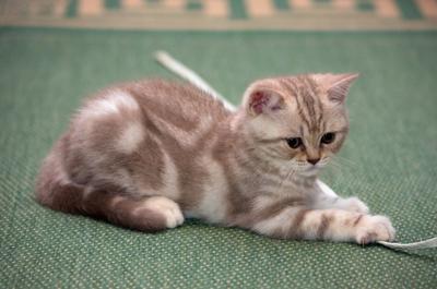 Новый питомец кошка котёнок шотландская прямоухая портрет