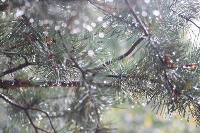 Летние гирлянды сосны, капли, дождь, гирлянды